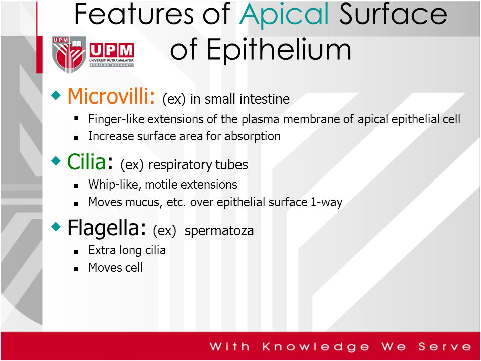 Features of Apical Surface of Epithelium  Microvilli: (ex) in small intestine  Finger-like extensions of the plasma membrane of apical epithelial cell Increase surface area for absorption  Cilia: (ex) respiratory tubes Whip-like, motile extensions Moves mucus, etc.