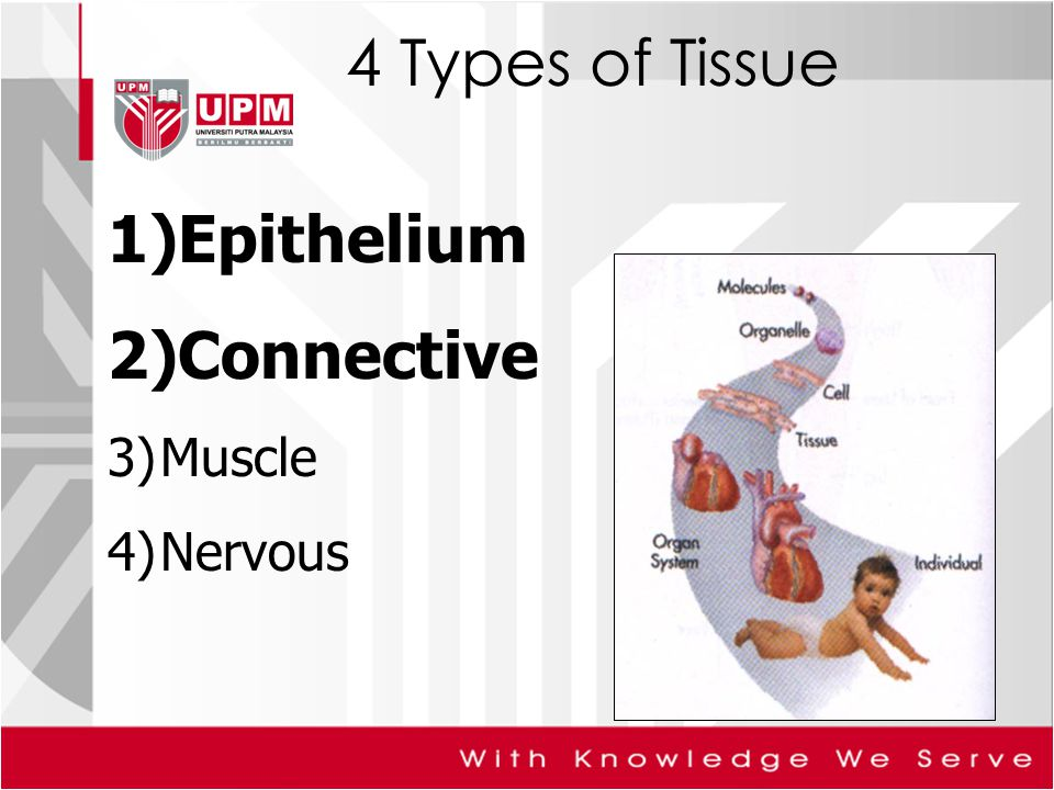 4 Types of Tissue 1)Epithelium 2)Connective 3)Muscle 4)Nervous