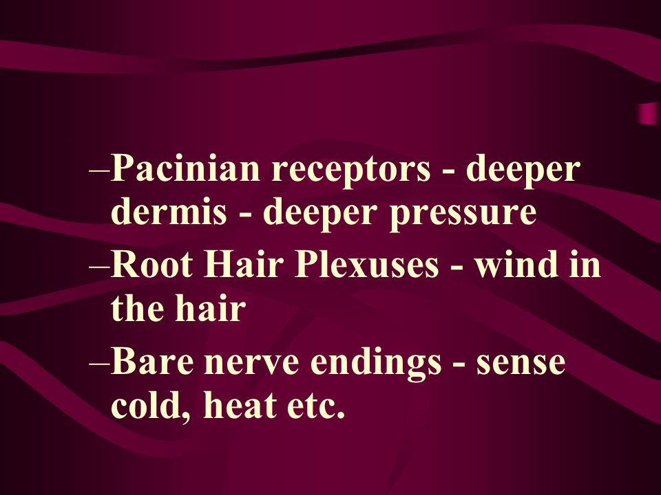 –Pacinian receptors - deeper dermis - deeper pressure –Root Hair Plexuses - wind in the hair –Bare nerve endings - sense cold, heat etc.