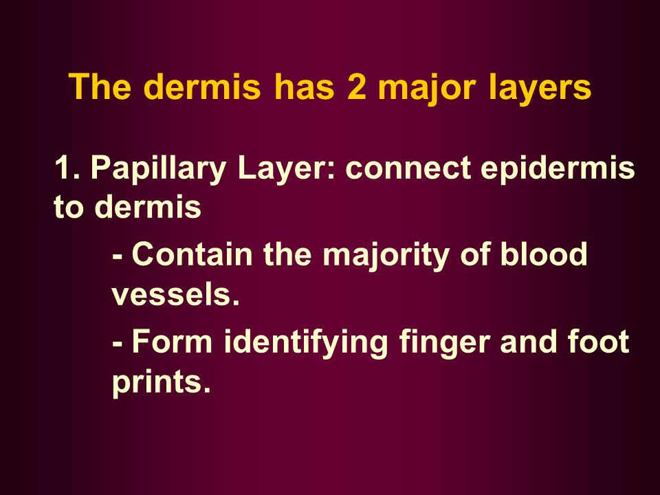 The dermis has 2 major layers 1. Papillary Layer: connect epidermis to dermis - Contain the majority of blood vessels. - Form identifying finger and f