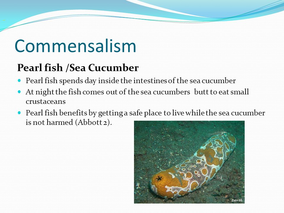 Commensalism Pearl fish /Sea Cucumber Pearl fish spends day inside the intestines of the sea cucumber At night the fish comes out of the sea cucumbers butt to eat small crustaceans Pearl fish benefits by getting a safe place to live while the sea cucumber is not harmed (Abbott 2).