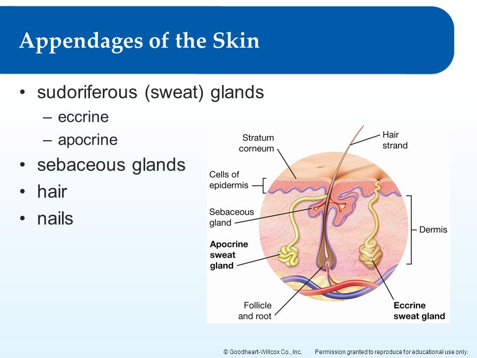 Permission granted to reproduce for educational use only.© Goodheart-Willcox Co., Inc. sudoriferous (sweat) glands –eccrine –apocrine sebaceous glands