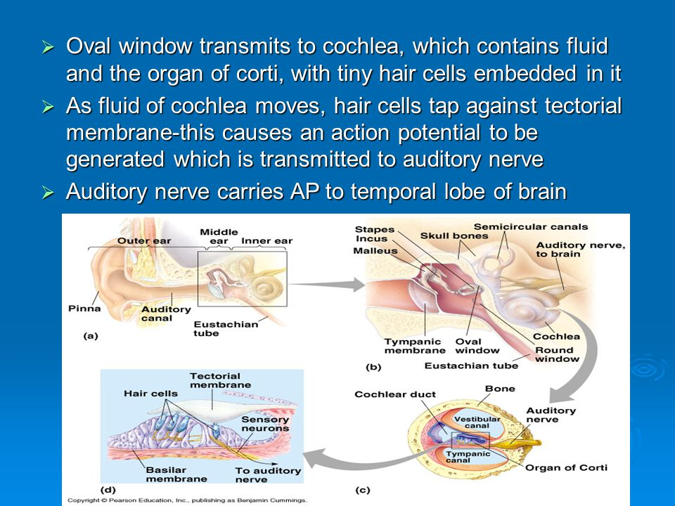  Oval window transmits to cochlea, which contains fluid and the organ of corti, with tiny hair cells embedded in it  As fluid of cochlea moves, hair