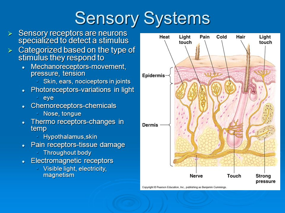 Sensory Systems  Sensory receptors are neurons specialized to detect a stimulus  Categorized based on the type of stimulus they respond to Mechanore