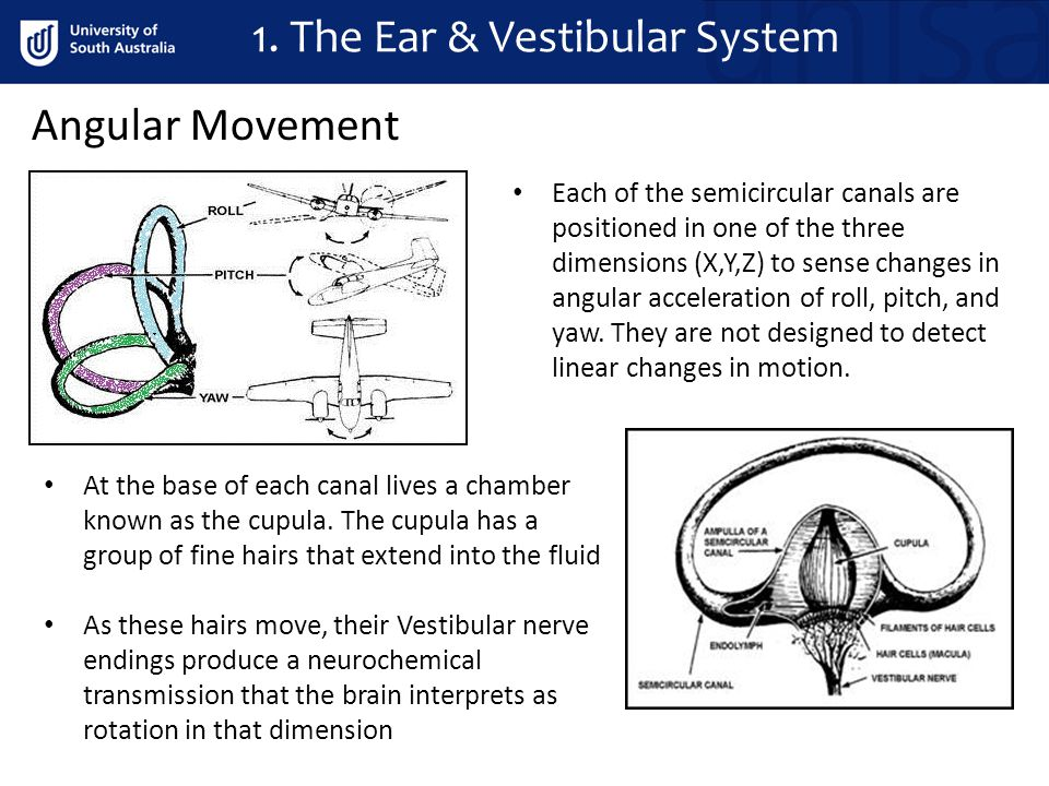 1. The Ear & Vestibular System Angular Movement Each of the semicircular canals are positioned in one of the three dimensions (X,Y,Z) to sense changes