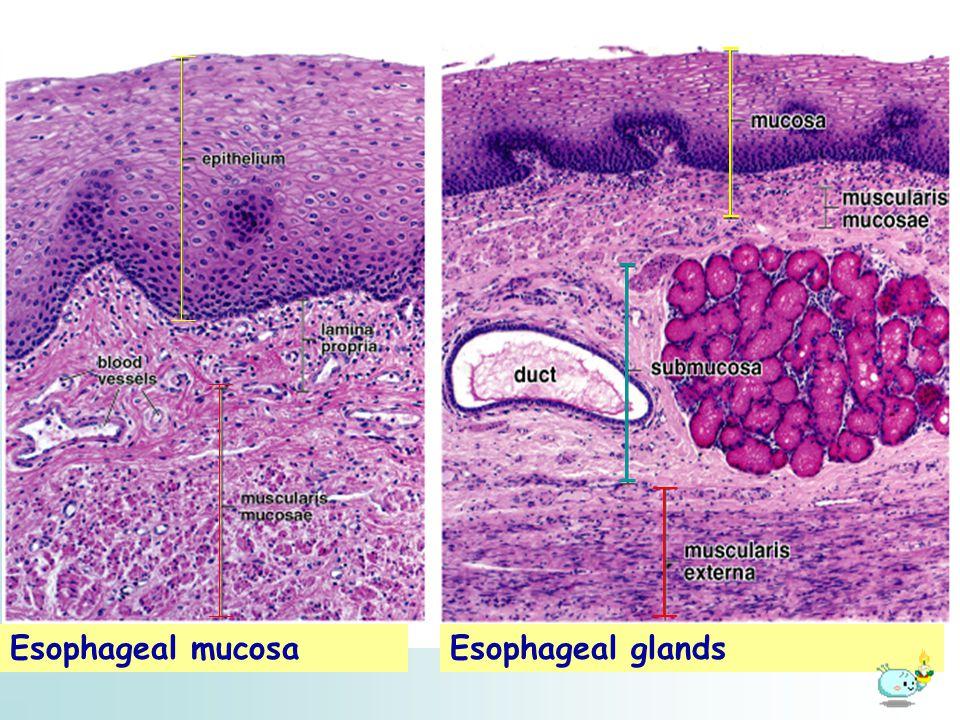 Esophageal mucosaEsophageal glands