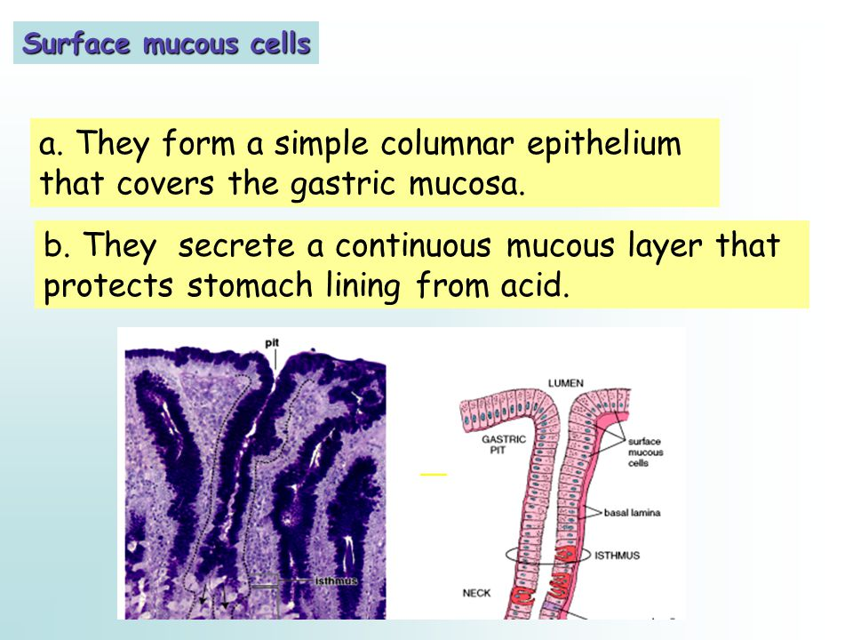 Surface mucous cells a. They form a simple columnar epithelium that covers the gastric mucosa. b. They secrete a continuous mucous layer that protects