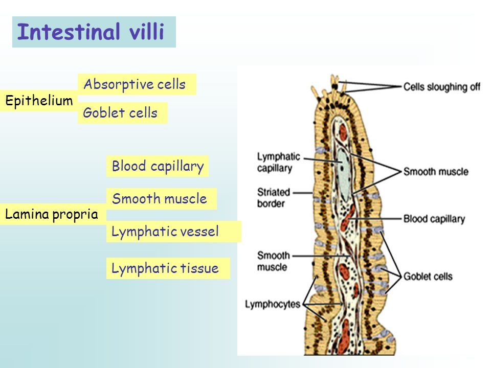 Intestinal villi Lamina propria Absorptive cells Goblet cells Epithelium Blood capillary Smooth muscle Lymphatic vessel Lymphatic tissue