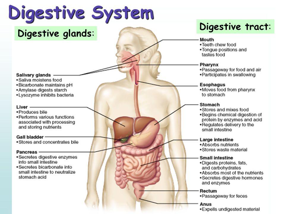 Copyright © 2001 Benjamin Cummings, an imprint of Addison Wesley Longman, Inc. Digestive tract: Digestive glands: Digestive System