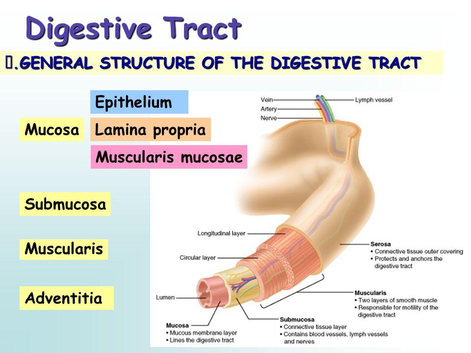 Digestive Tract Ⅰ.GENERAL STRUCTURE OF THE DIGESTIVE TRACT Lamina propria Submucosa Muscularis Adventitia Mucosa Epithelium Muscularis mucosae