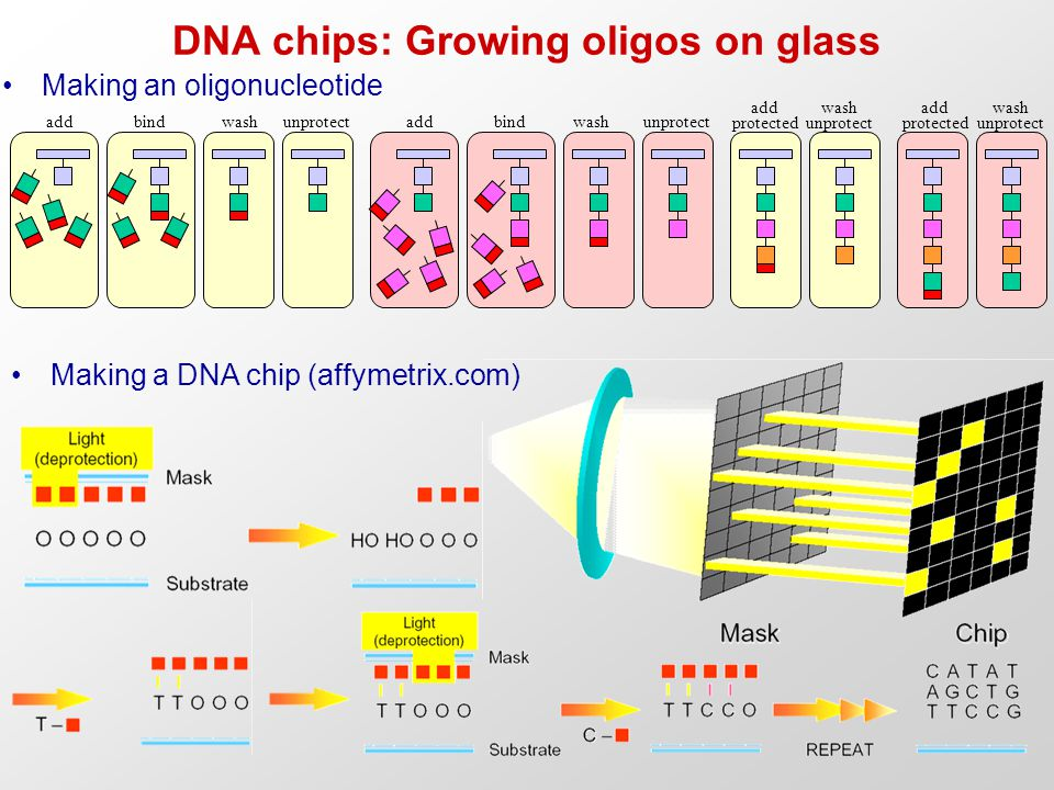 DNA chips: Growing oligos on glass Making an oligonucleotide Making a DNA chip (affymetrix.com)