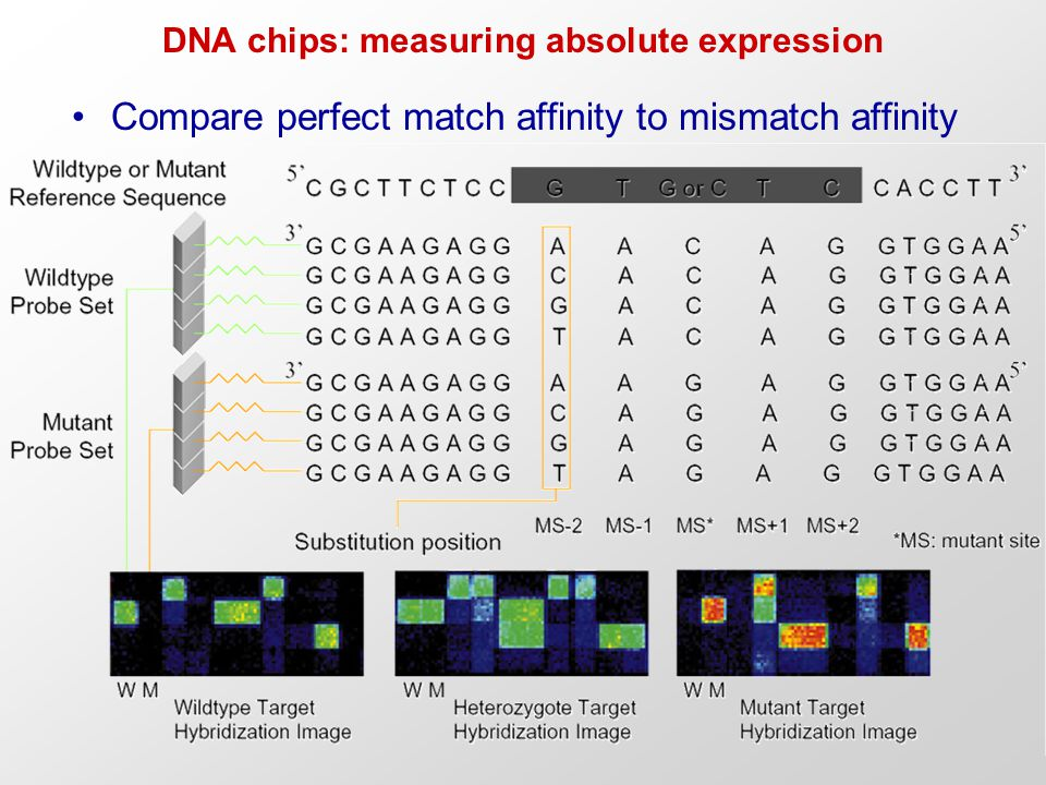 DNA chips: measuring absolute expression Compare perfect match affinity to mismatch affinity