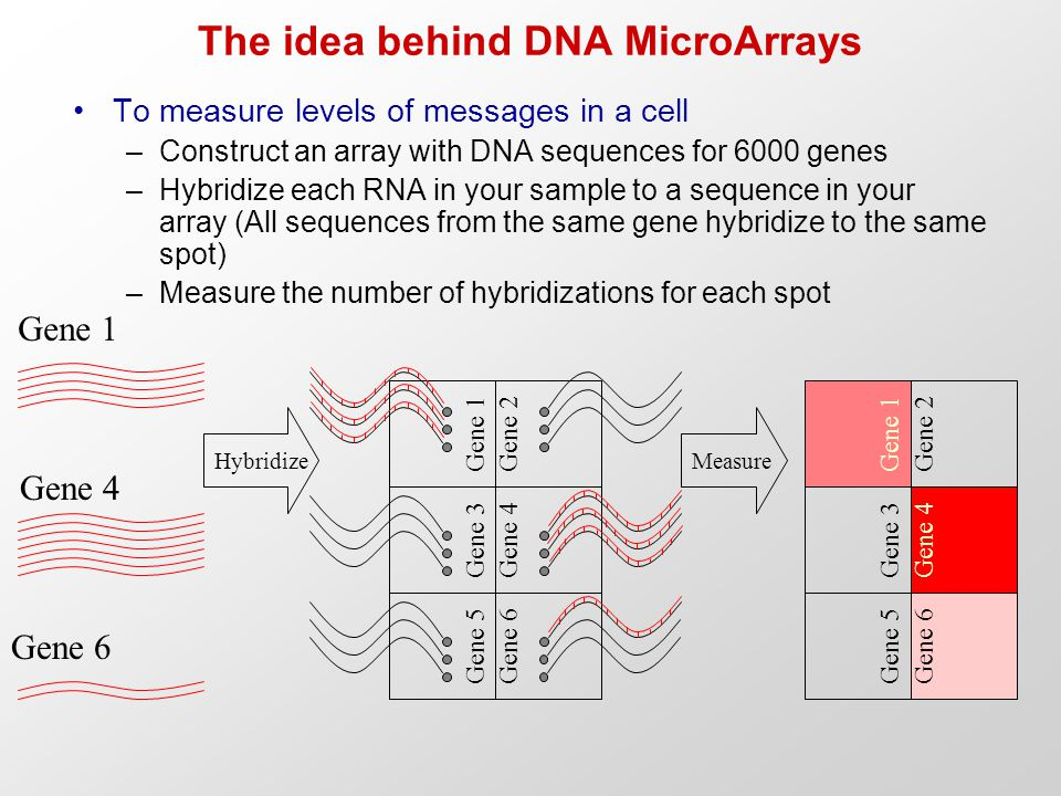 The idea behind DNA MicroArrays To measure levels of messages in a cell –Construct an array with DNA sequences for 6000 genes –Hybridize each RNA in your sample to a sequence in your array (All sequences from the same gene hybridize to the same spot) –Measure the number of hybridizations for each spot Gene 1 Gene 3 Gene 5Gene 6 Gene 4 Gene 2 Gene 1 Gene 4 Gene 6 Hybridize Gene 1 Gene 3 Gene 5Gene 6 Gene 4 Gene 2 Measure