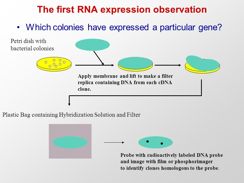 The first RNA expression observation Which colonies have expressed a particular gene? Petri dish with bacterial colonies Apply membrane and lift to ma