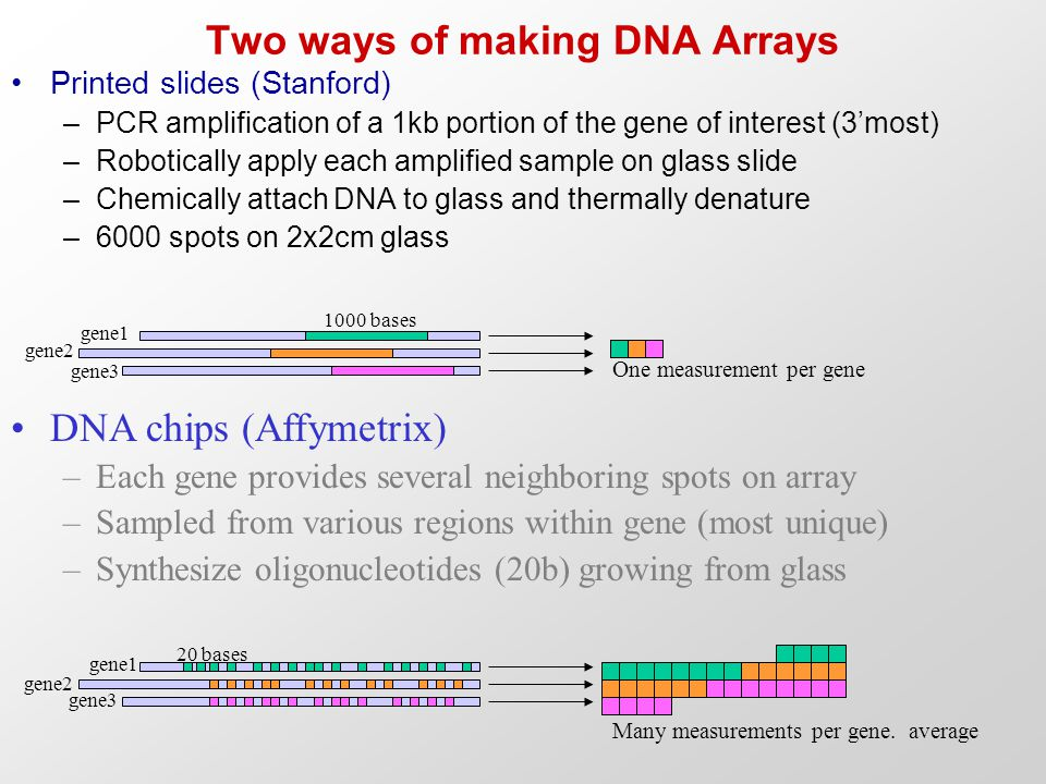 Two ways of making DNA Arrays Printed slides (Stanford) –PCR amplification of a 1kb portion of the gene of interest (3'most) –Robotically apply each a