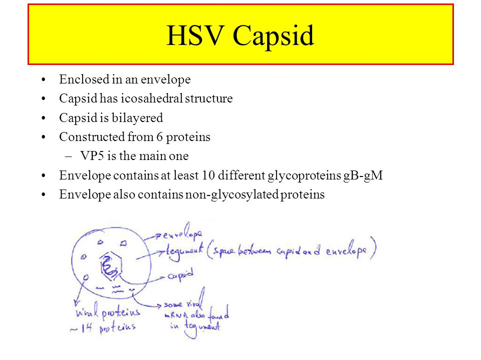 HSV Capsid Enclosed in an envelope Capsid has icosahedral structure Capsid is bilayered Constructed from 6 proteins –VP5 is the main one Envelope contains at least 10 different glycoproteins gB-gM Envelope also contains non-glycosylated proteins