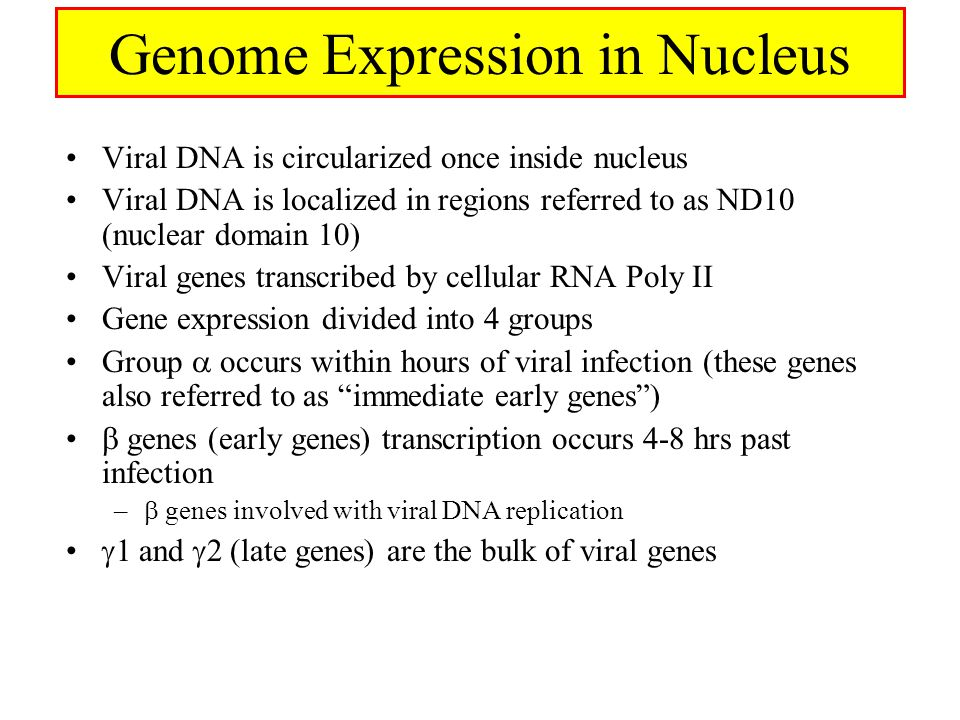 Genome Expression in Nucleus Viral DNA is circularized once inside nucleus Viral DNA is localized in regions referred to as ND10 (nuclear domain 10) Viral genes transcribed by cellular RNA Poly II Gene expression divided into 4 groups Group  occurs within hours of viral infection (these genes also referred to as immediate early genes )  genes (early genes) transcription occurs 4-8 hrs past infection –  genes involved with viral DNA replication  1 and  2 (late genes) are the bulk of viral genes
