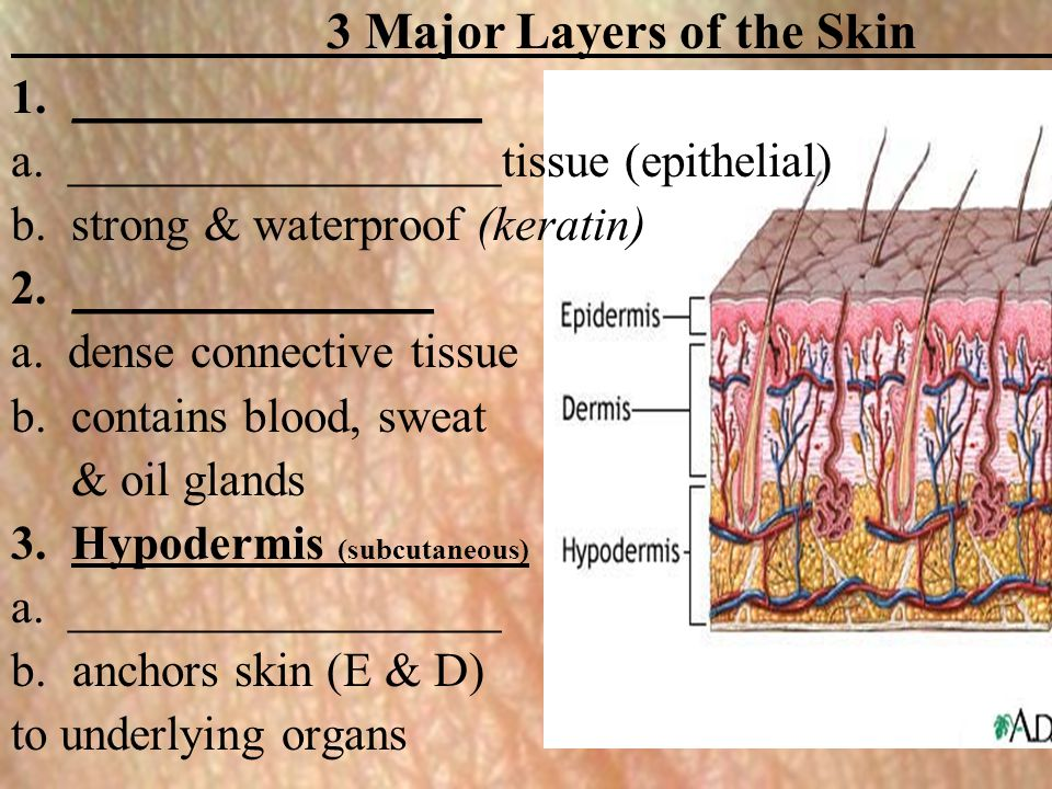 3 Major Layers of the Skin 1._________________ a. __________________tissue (epithelial) b. strong & waterproof (keratin) 2._______________ a. dense co