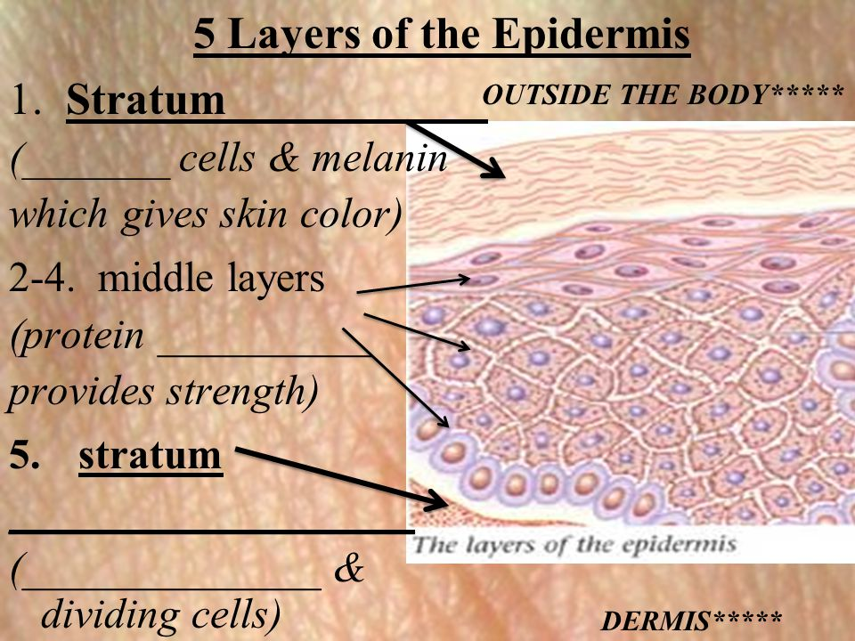5 Layers of the Epidermis 1. Stratum ___________ (_______ cells & melanin which gives skin color) 2-4. middle layers (protein __________ provides stre