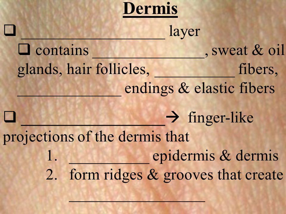 Dermis  __________________  finger-like projections of the dermis that 1.__________ epidermis & dermis 2.form ridges & grooves that create _________