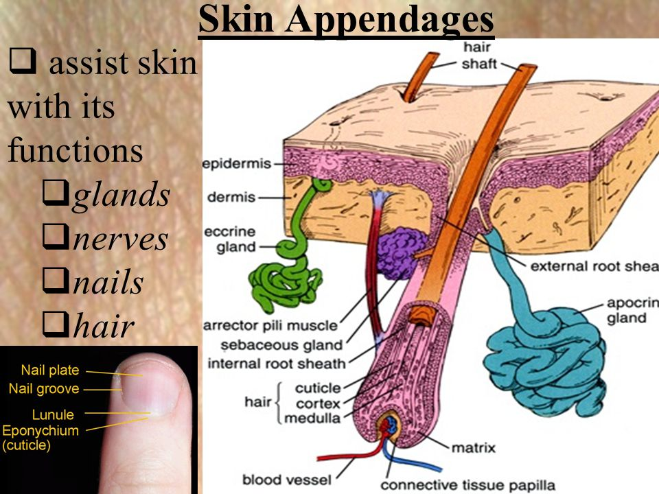  assist skin with its functions  glands  nerves  nails  hair Skin Appendages