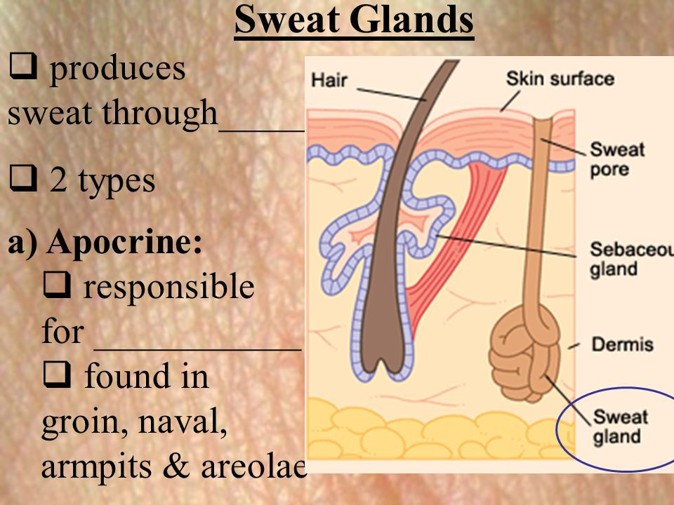 Sweat Glands  produces sweat through_____  2 types a) Apocrine:  responsible for ___________  found in groin, naval, armpits & areolae