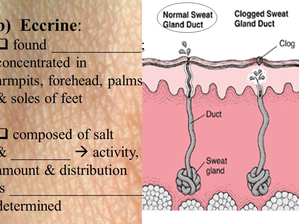 b) Eccrine:  found ____________; concentrated in armpits, forehead, palms & soles of feet  composed of salt & ________  activity, amount & distribu