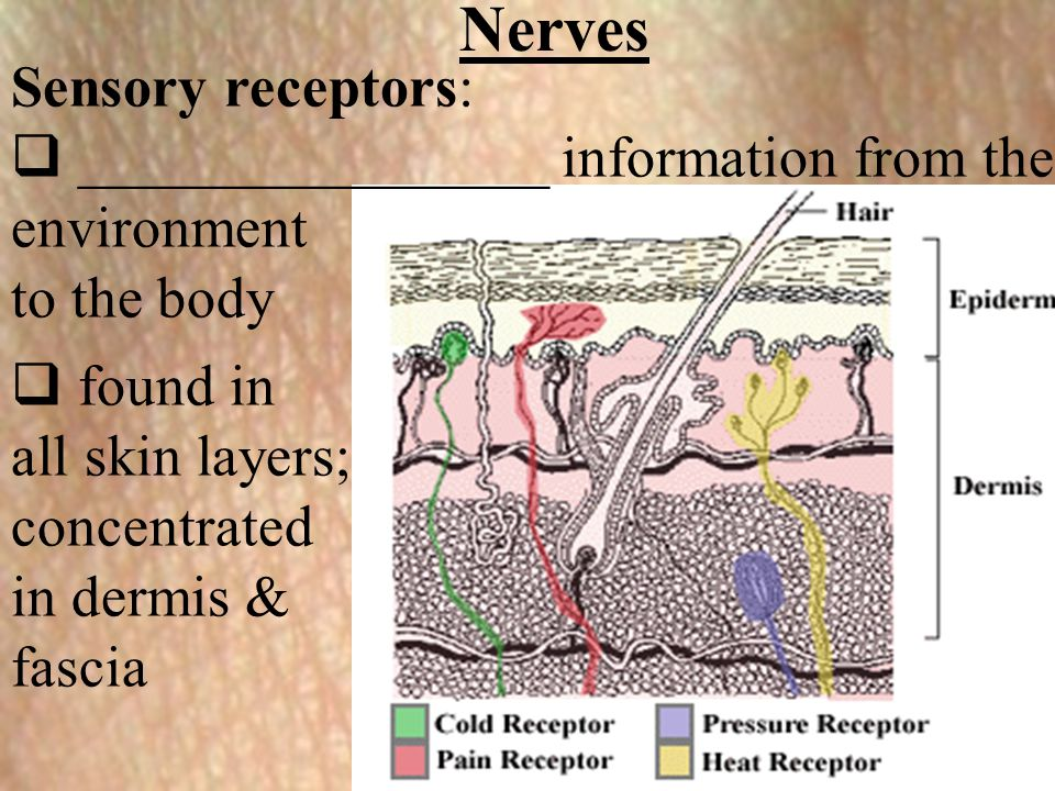 Nerves Sensory receptors:  ________________ information from the environment to the body  found in all skin layers; concentrated in dermis & fascia