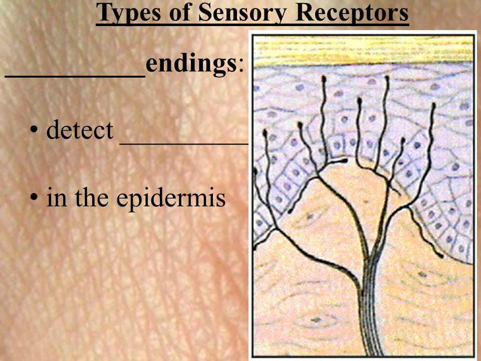 Types of Sensory Receptors __________endings: detect __________ in the epidermis