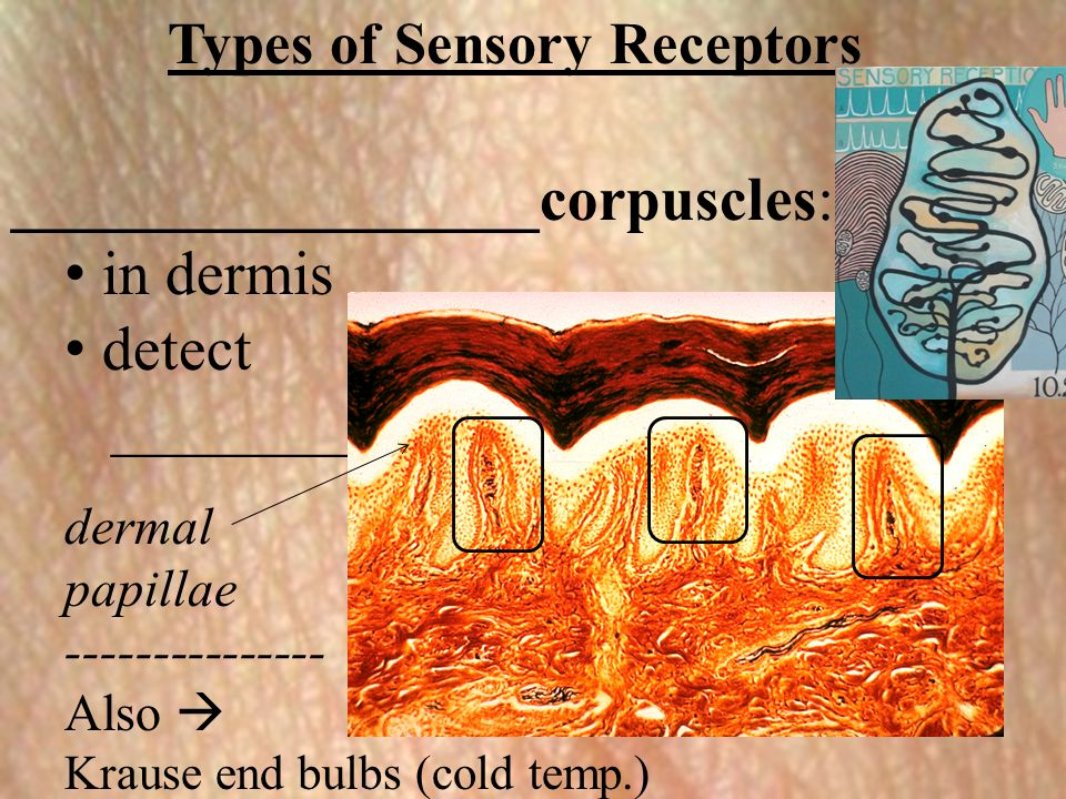 Types of Sensory Receptors _________________corpuscles: in dermis detect ________ dermal papillae --------------- Also  Krause end bulbs (cold temp.)