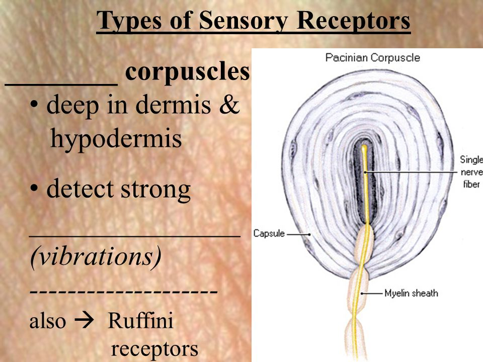 Types of Sensory Receptors ________ corpuscles: deep in dermis & hypodermis detect strong _______________ (vibrations) -------------------- also  Ruf