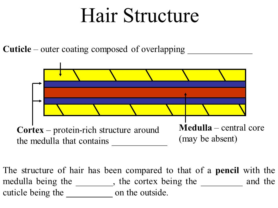 Hair Structure The structure of hair has been compared to that of a pencil with the medulla being the ________, the cortex being the _________ and the