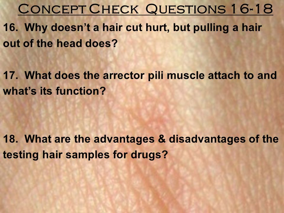 16. Why doesn't a hair cut hurt, but pulling a hair out of the head does? 17. What does the arrector pili muscle attach to and what's its function? 18