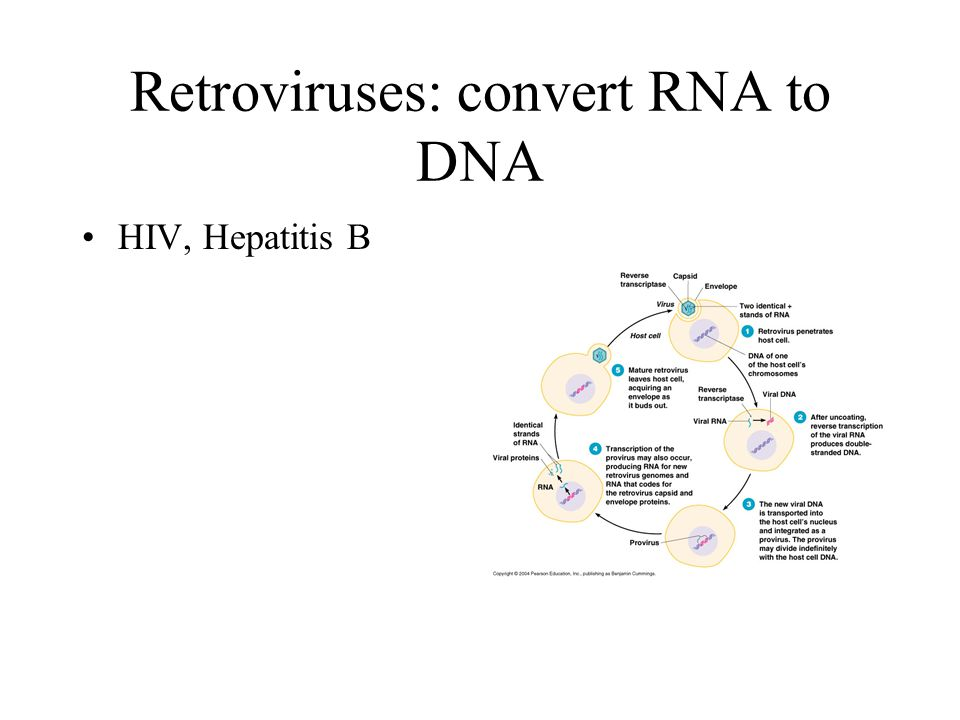 Retroviruses: convert RNA to DNA HIV, Hepatitis B