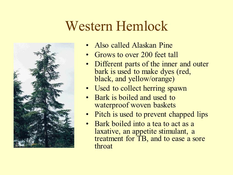 Western Hemlock Also called Alaskan Pine Grows to over 200 feet tall Different parts of the inner and outer bark is used to make dyes (red, black, and yellow/orange) Used to collect herring spawn Bark is boiled and used to waterproof woven baskets Pitch is used to prevent chapped lips Bark boiled into a tea to act as a laxative, an appetite stimulant, a treatment for TB, and to ease a sore throat