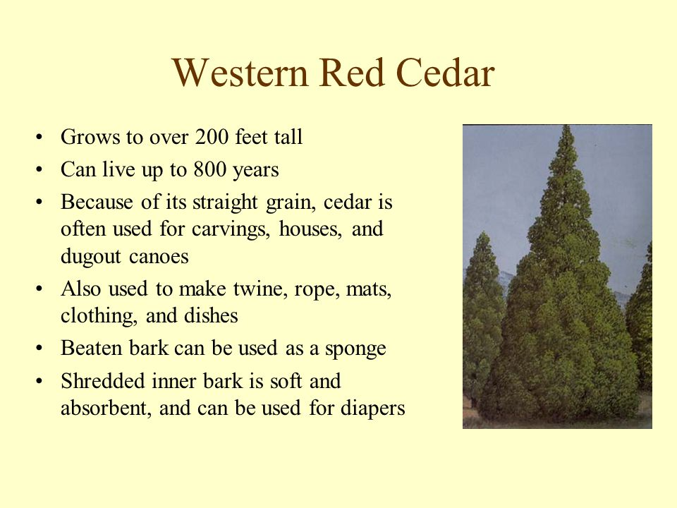 Western Red Cedar Grows to over 200 feet tall Can live up to 800 years Because of its straight grain, cedar is often used for carvings, houses, and dugout canoes Also used to make twine, rope, mats, clothing, and dishes Beaten bark can be used as a sponge Shredded inner bark is soft and absorbent, and can be used for diapers