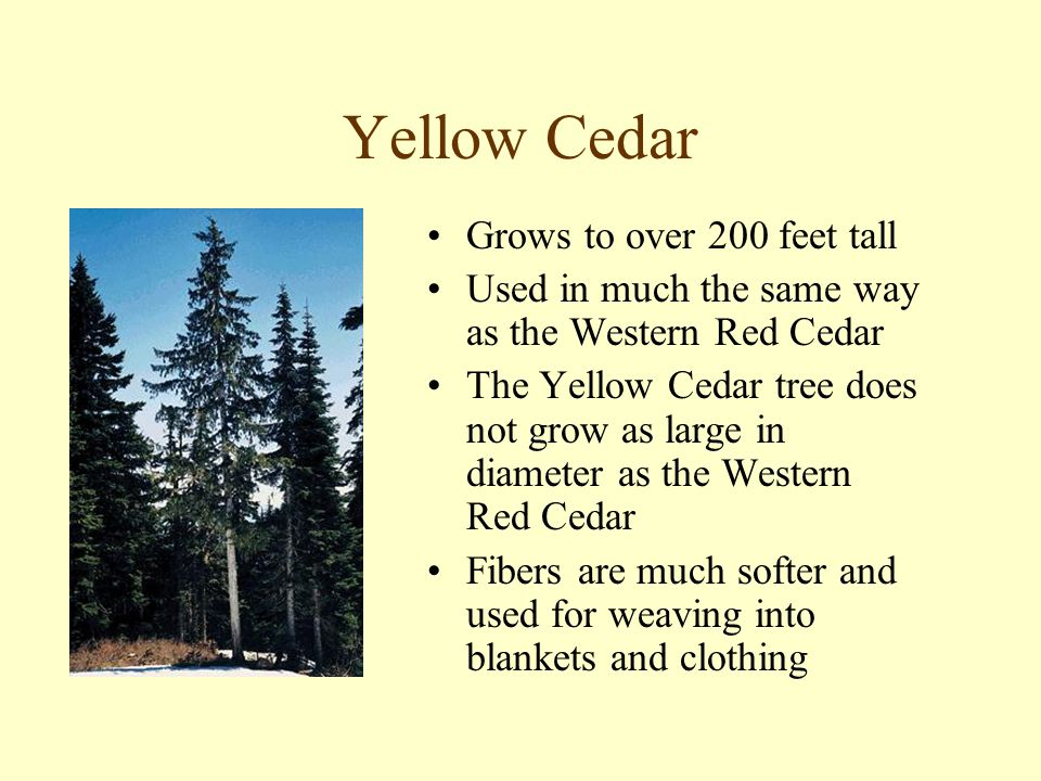Yellow Cedar Grows to over 200 feet tall Used in much the same way as the Western Red Cedar The Yellow Cedar tree does not grow as large in diameter as the Western Red Cedar Fibers are much softer and used for weaving into blankets and clothing
