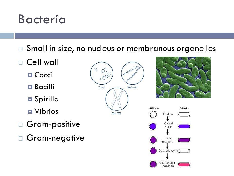 Bacteria  Small in size, no nucleus or membranous organelles  Cell wall  Cocci  Bacilli  Spirilla  Vibrios  Gram-positive  Gram-negative