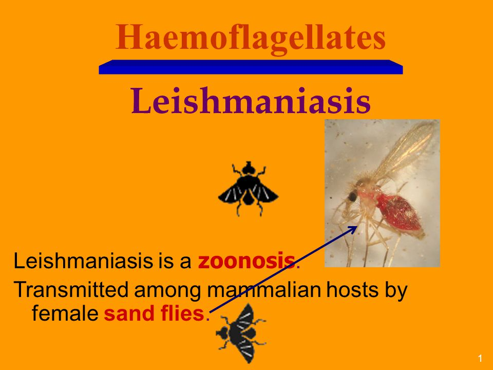 22 Visceral Leishmaniasis Visceral disease (Kala-azar)