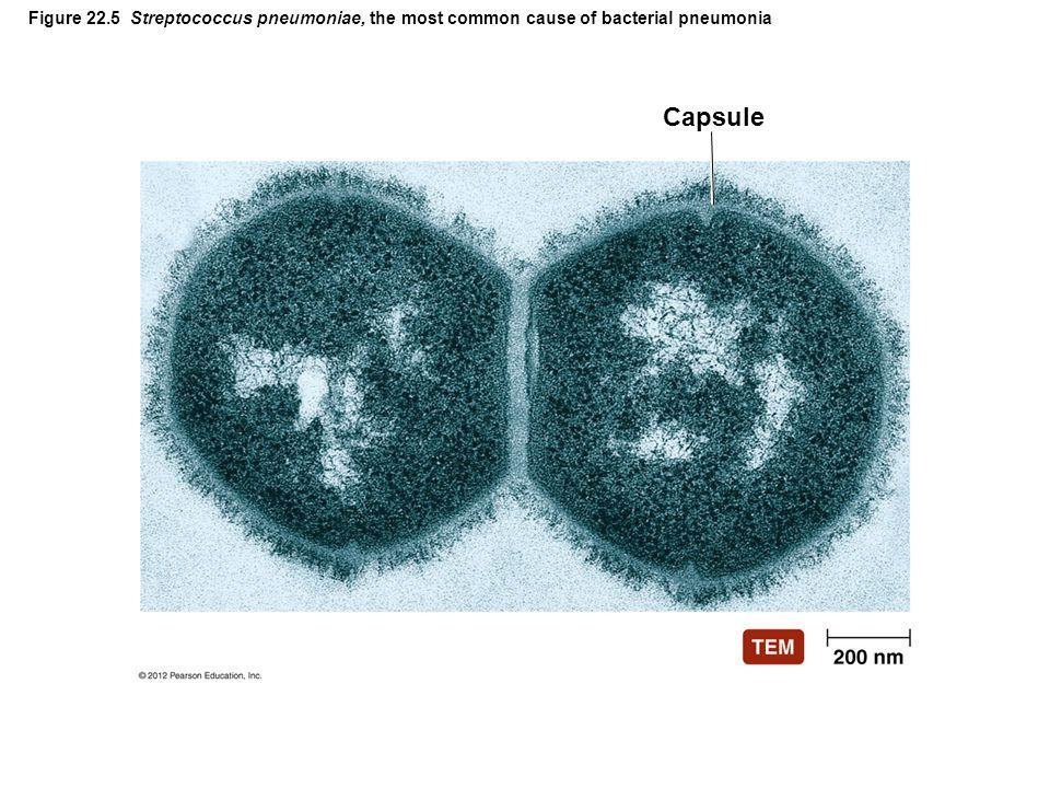 Figure 22.5 Streptococcus pneumoniae, the most common cause of bacterial pneumonia Capsule