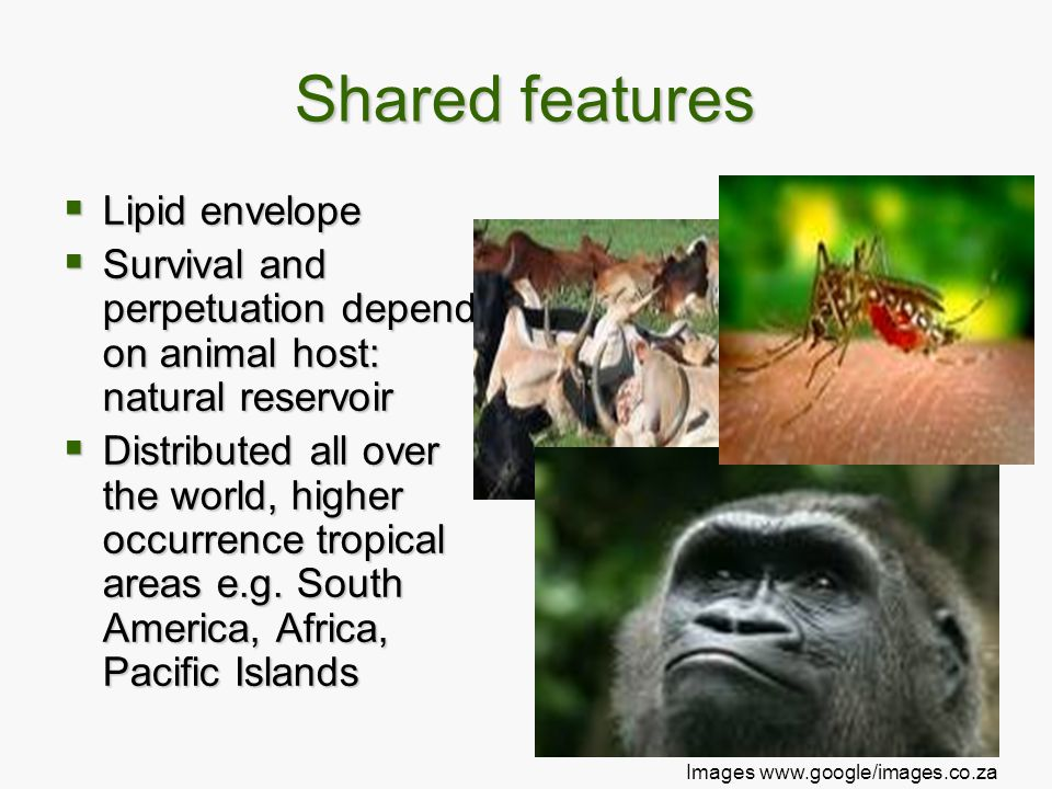 Shared features  Lipid envelope  Survival and perpetuation depend on animal host: natural reservoir  Distributed all over the world, higher occurre