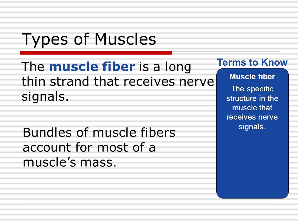 Types of Muscles The muscle fiber is a long thin strand that receives nerve signals. Muscle fiber The specific structure in the muscle that receives n