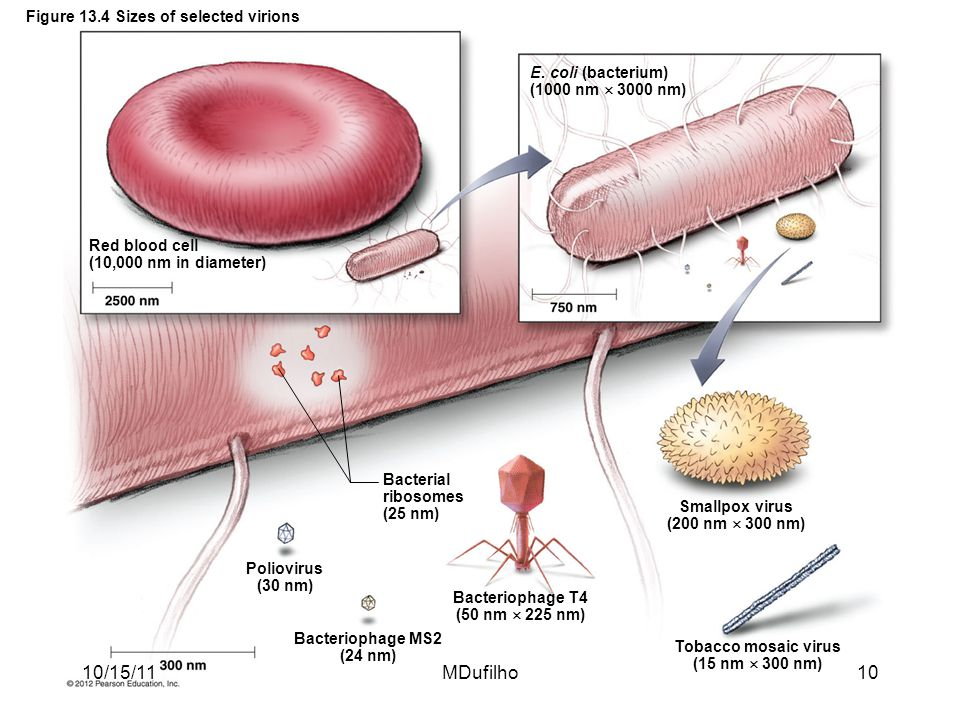 Figure 13.4 Sizes of selected virions Red blood cell (10,000 nm in diameter) E. coli (bacterium) (1000 nm  3000 nm) Poliovirus (30 nm) Bacteriophage