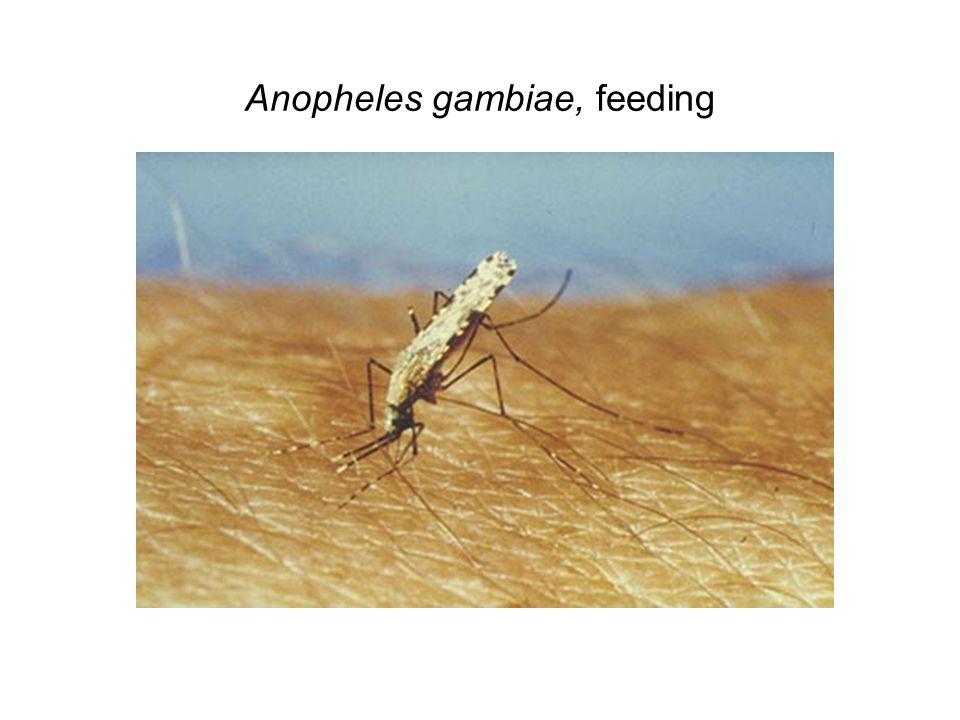 Anopheles gambiae, feeding