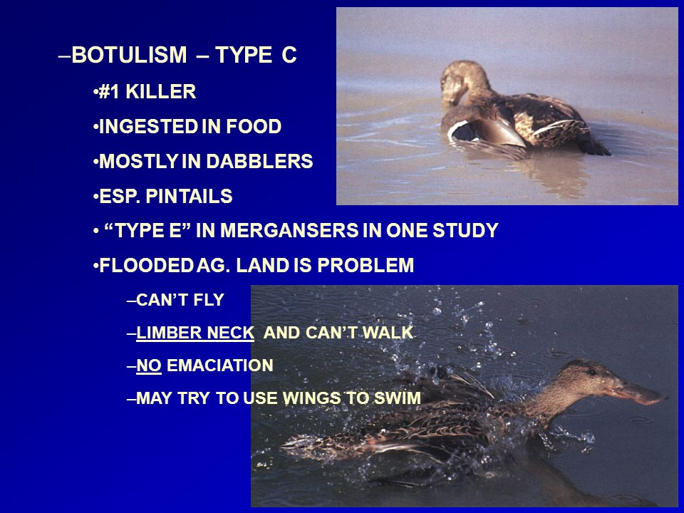 """–BOTULISM – TYPE C #1 KILLER INGESTED IN FOOD MOSTLY IN DABBLERS ESP. PINTAILS """"TYPE E"""" IN MERGANSERS IN ONE STUDY FLOODED AG. LAND IS PROBLEM –CAN'T"""