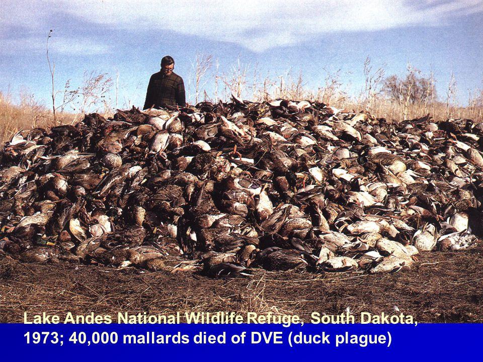 Lake Andes National Wildlife Refuge, South Dakota, 1973; 40,000 mallards died of DVE (duck plague)