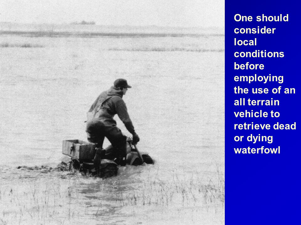One should consider local conditions before employing the use of an all terrain vehicle to retrieve dead or dying waterfowl