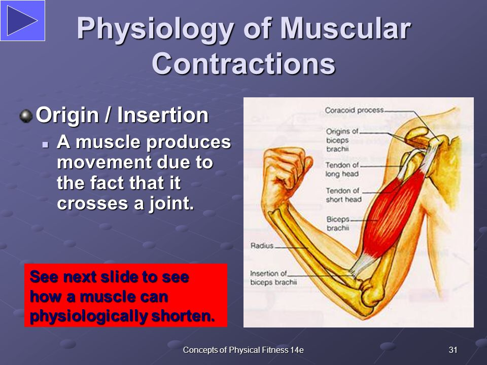 31Concepts of Physical Fitness 14e Physiology of Muscular Contractions Origin / Insertion A muscle produces movement due to the fact that it crosses a joint.