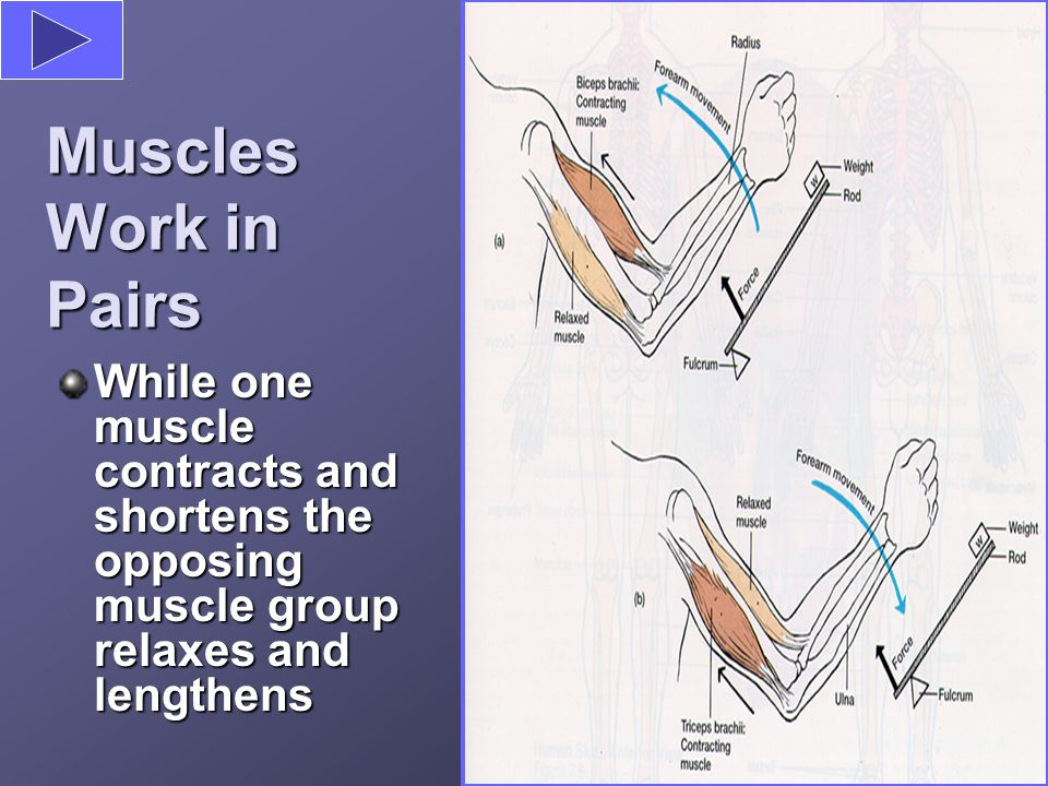 Muscles Work in Pairs While one muscle contracts and shortens the opposing muscle group relaxes and lengthens