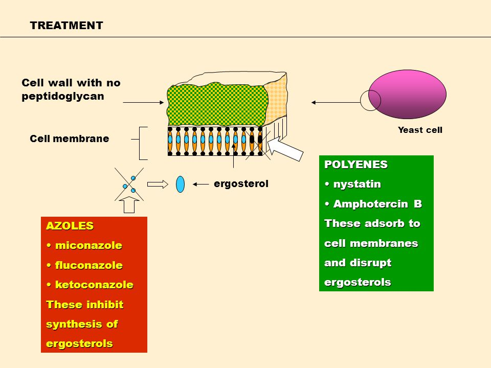 TREATMENT Cell wall with no peptidoglycan Cell membrane ergosterol AZOLES miconazole miconazole fluconazole fluconazole ketoconazole ketoconazole Thes